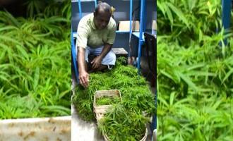 Raid Results In 1980 Plants Seized In Tabia