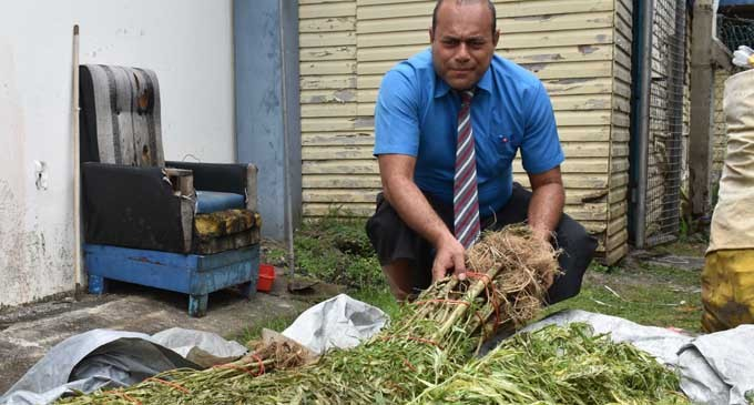 300 Suspected Marijuana Plants Seized