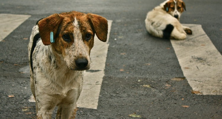 Stray Dogs Now A Potential National Crisis That Needs Urgent Attention