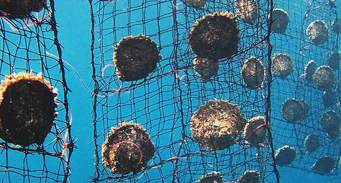 Pearl farming relies on pristine marine environment, global warming, ocean acidification if unchecked will not only spell he end of businesses like pearls. PHOTO: J hunter Pearls Fiji