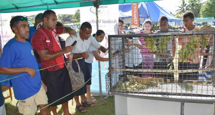 Vanua Levu A Red Zone For Iguanas