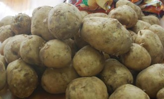 Locally Produced Potato Seeds Planted