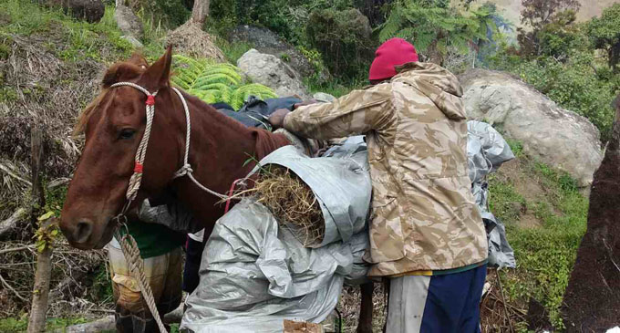 A Police officer secures a load of what is believed to be marrijuana. Photo: Police Media Cell