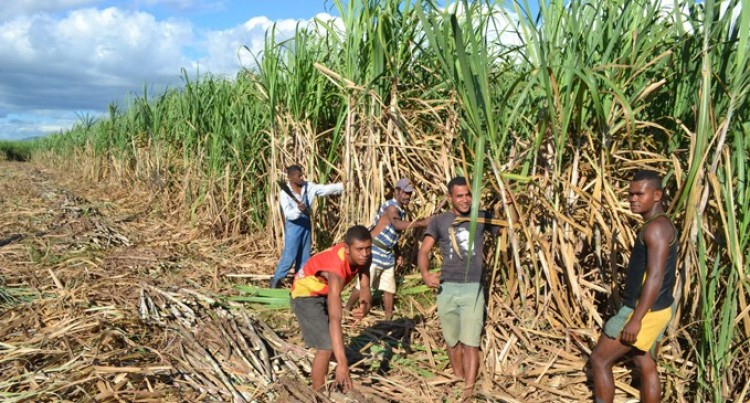 60,000 Tons Cane To Be Harvested In Labasa