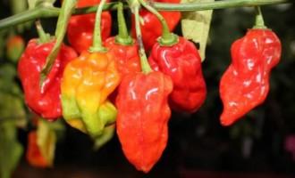 Bongo chillies on high demand