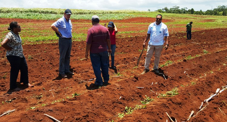 Rains Enhance Cane Planting