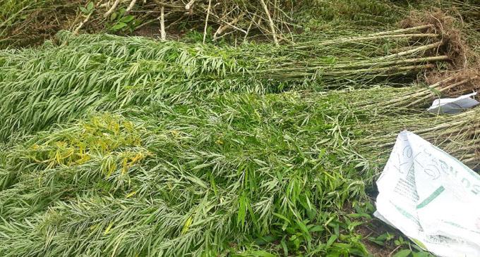Marijuana plants at a farm in Levuka, Yale. Photos: Police Media Cell