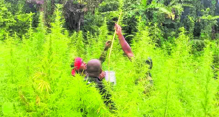 Police Arrest Two Suspects,Uproot 4000 Marijuana Plants In Levuka Village, Kadavu