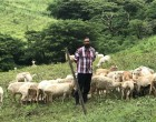 Reddy Takes Sheep Business Seriously