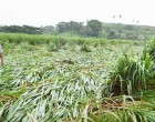 Team To Carry Out Sugar Cane Damage Assessment