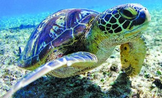 Ten-year Ban On Turtle Harversting Ends In December