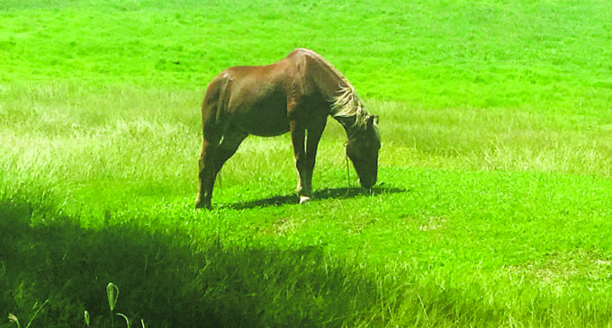 NOW: A horse grazing at the Nadi Airport Golf Club on May 4, 2018. Photo: Charles Chambers.