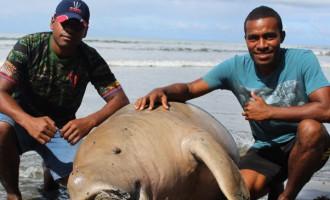Dead 'Dugong' Sighting on Fijian Shore Surprises Villagers