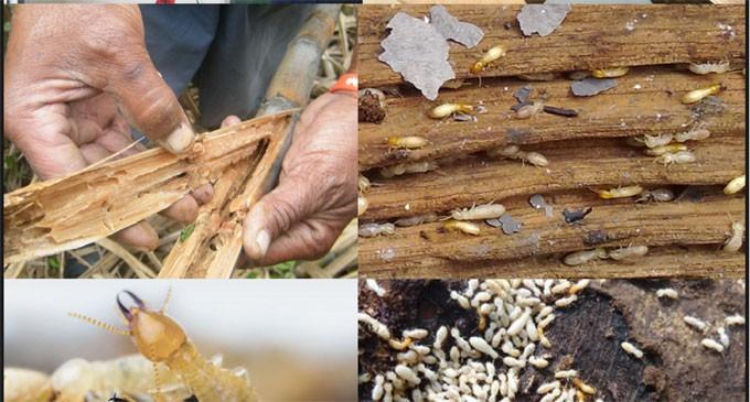 Termite Emergency Areas Declared