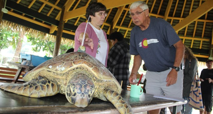 Green Sea Turtle Tagging Helps Researchers Understand the Endangered Species