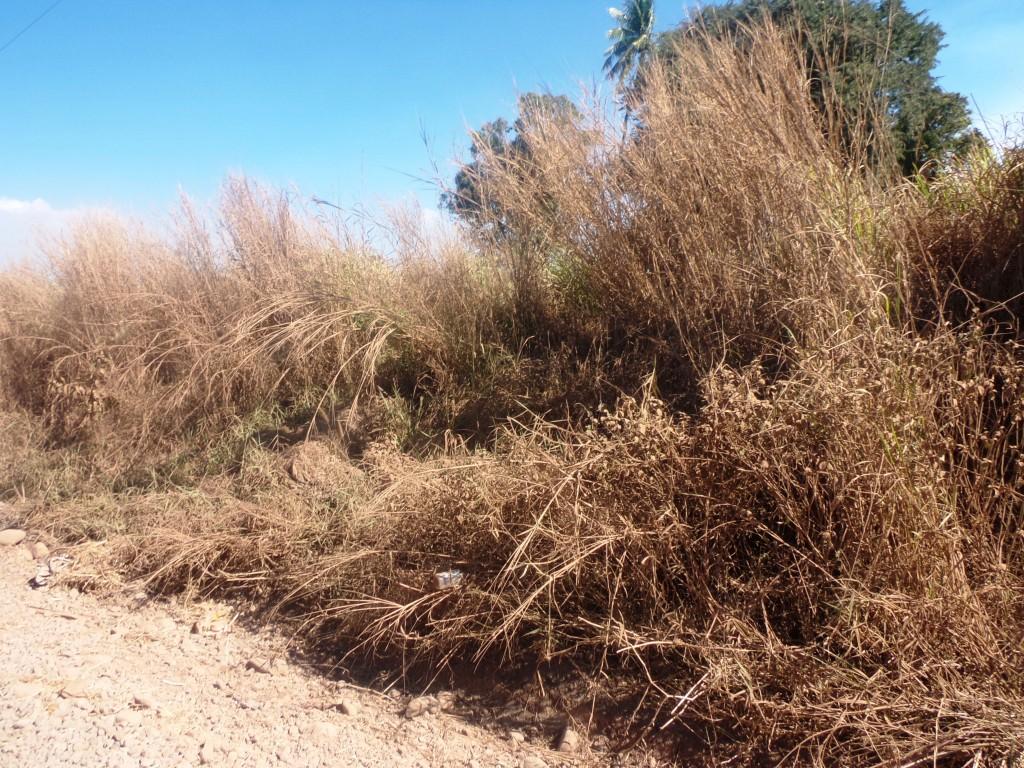 Dry grasslands near the Paipai Settlement in Lautoka, on August 21, 2018. Photo: Peni Komaisavai