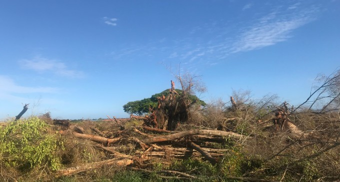 Legal Proceedings Considered For Baka Tree Incident