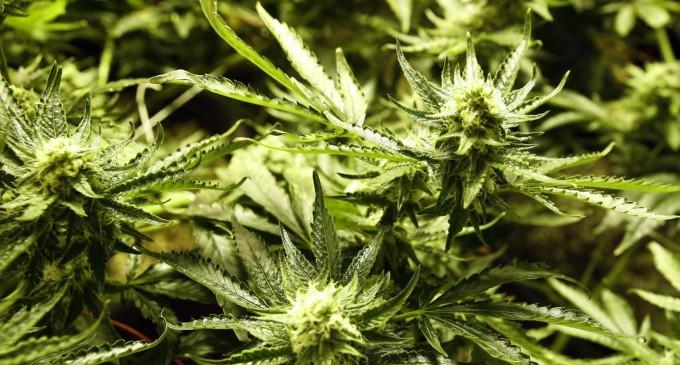 7 Years Imprisonment For North Marijuana Farmer