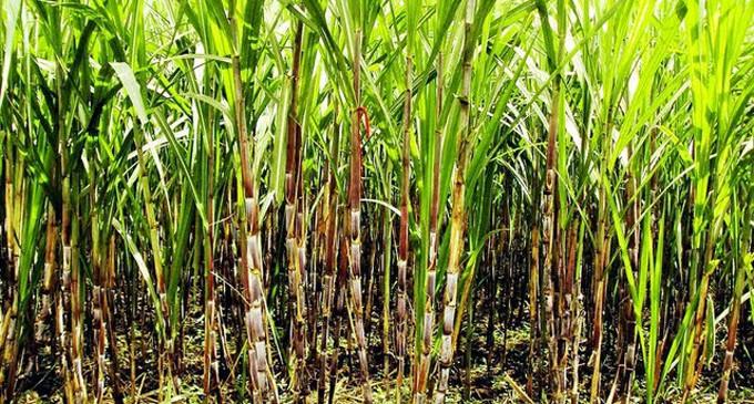 319 Sugarcane Farmers Suspended