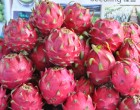 Plans To Commercialise Dragon Fruit