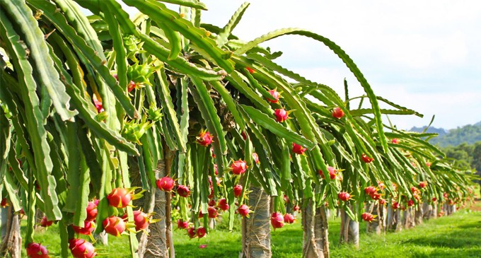 Dragon Fruit To Be In The Market Soon