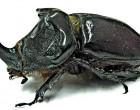 30% Rise In Rhinoceros Beetle Population
