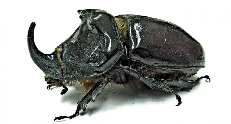 30% Rise In Rhinoceros Beetle Population