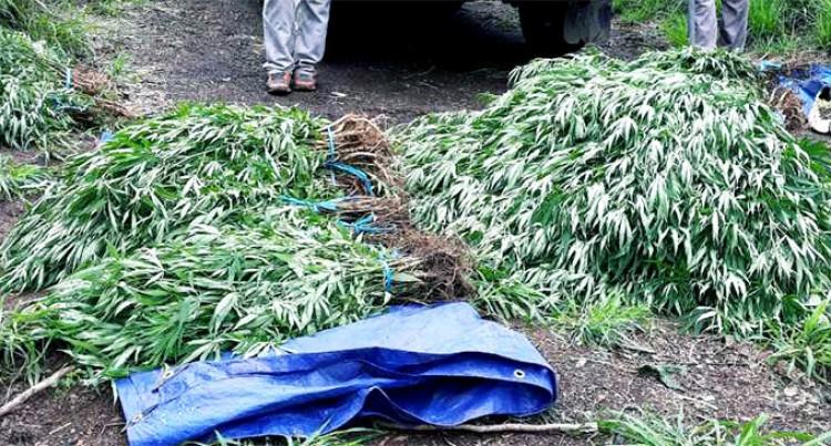 More than 6000 Marijuana plants Seized in Nadi Raid
