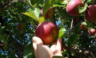 190 Fruit Pickers For Australia From January