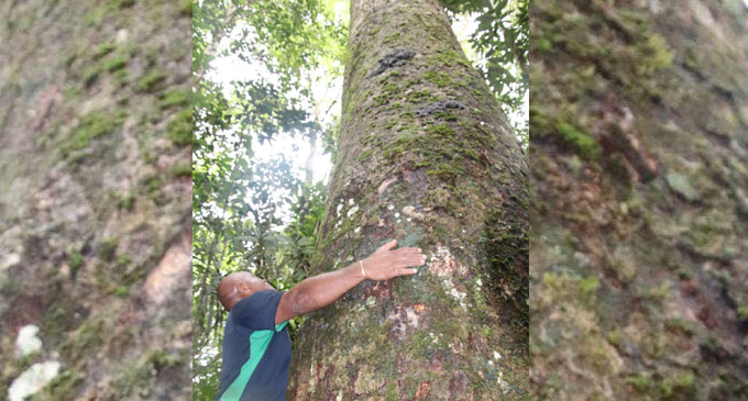 According to Ministry of Forests officials, this is a mighty 100-year old dakua tree, much like the one expected to grow from a seedling which will be planted by the Duke of Sussex at Colo-i-Suva tomorrow. Photo: Ministry of Forestry