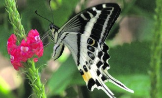 New Butterfly Species Discovered In Natewa