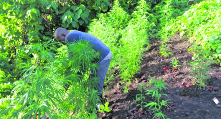 Police Seize Alleged Marijuana Plants In Cakaudrove, No Arrests Yet