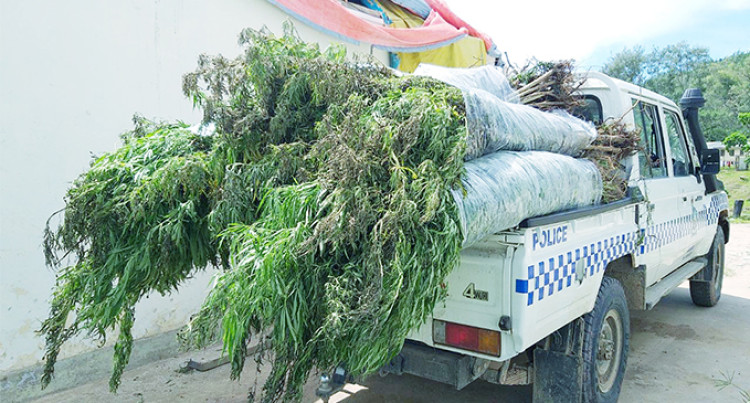 Police Uproot Over 2000 Plants Of Marijuana