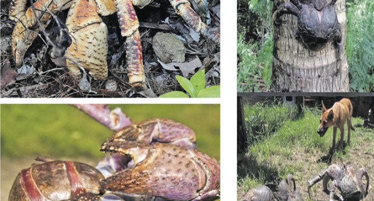 Coconut Crab 'Endangered'