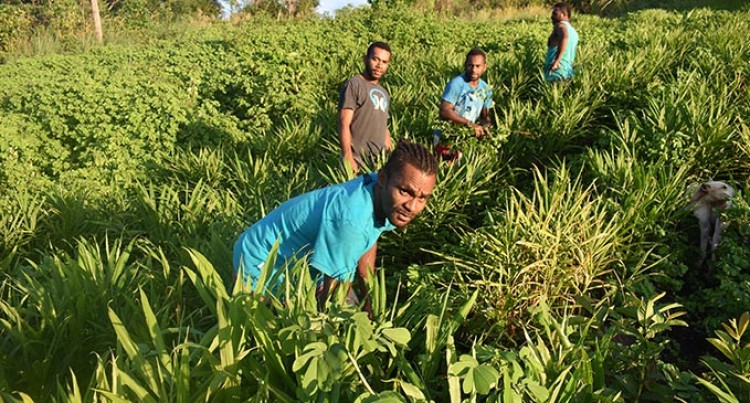 Navosa Organic Ginger Farmers Seeking Govt Help to Find Buyers for Crops