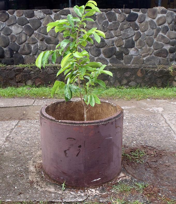 New trees planted in tubs along Savusavu Town roadside.