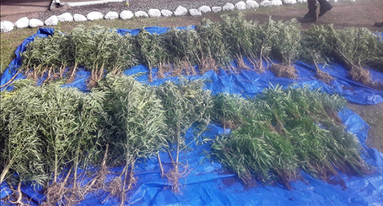 Police Uproot Over 700 Plants Believed To Be Marijuana In Tunuloa Hills