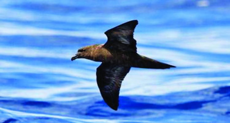 Fijian Petrel Nest Sites Not Located:  Report