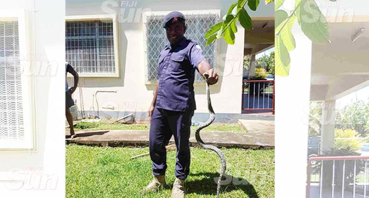 Neighbour Captures Snake Feasting On Bird At A House In Simla, Lautoka