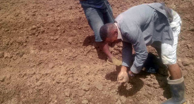 Ketei village youths plant ginger.