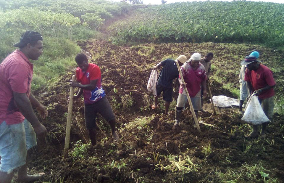 Workers harvest ginger.