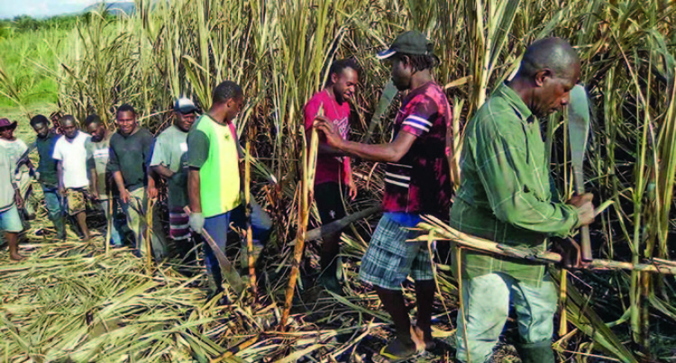 Vanuatu Cane Cutters Dedicated And Committed Says Farmer