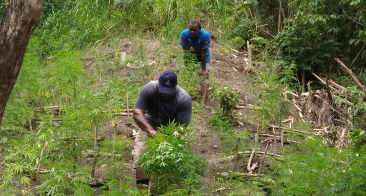 Police Uproot 660 Plants Believed To Be Marijuana