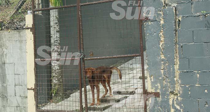 One of the dogs at the Raiwai home. Photo: Kelera Sovasiga