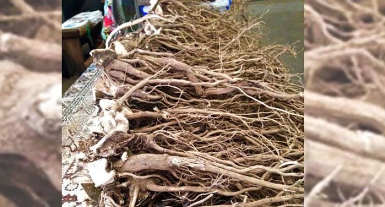 Market Price Attracts Kadavu Yaqona Farmers