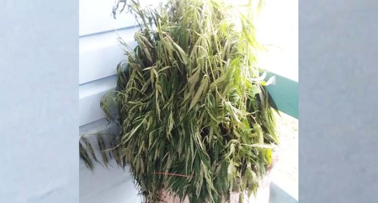 Ketei Village Headman Finds Marijuana Farm, Police Are Informed