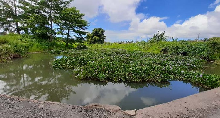 Water Hyacinth Invasion A Worry For Nausori, Nasinu Residents