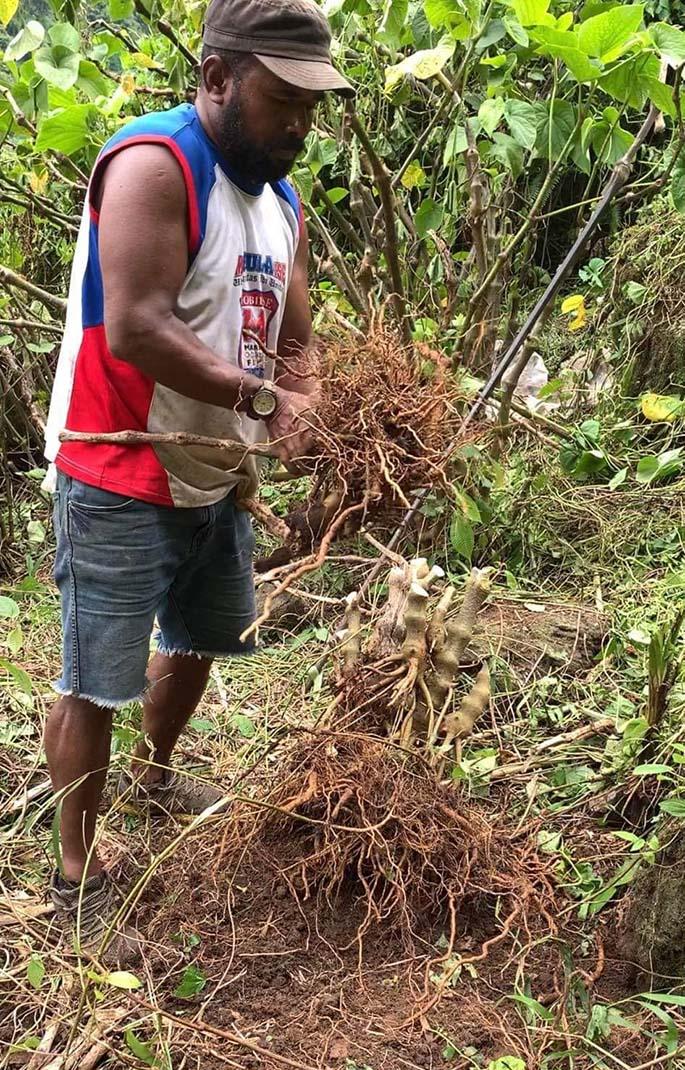 Brandon Nakavulevu uprooting his first harvest on his yaqona farm in Namosi