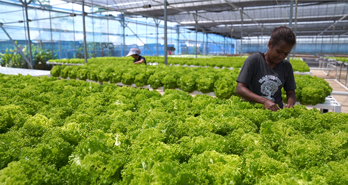 Workers tending to lettuce grown at Grace Road Farm in Navua.