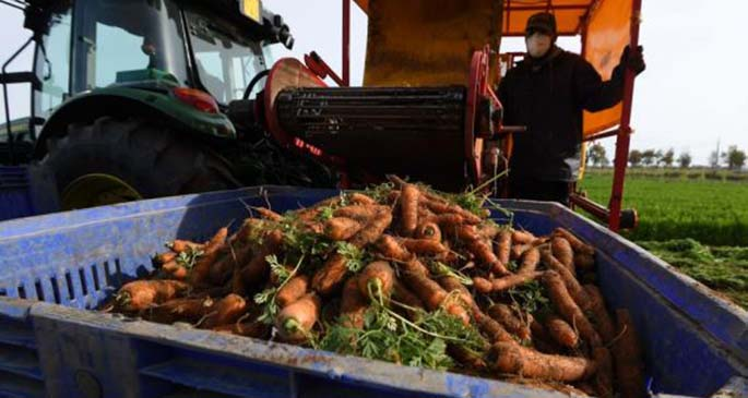 A worker harvests carrots in Maccarese near Rome, Italy, May 5, 2020. Italians enjoyed more liberties on Monday, as some restrictions on productive activities and personal movements were relaxed for the first time after almost eight weeks. (Photo by Alberto Lingria/Xinhua)